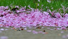A bunch of nature's litter, so beautiful (Eat With Your Eyez) Tags: bokeh blossom blossoms pink white tree shed shedding drop dropping spring rain easter gray cloudy morning beautiful nature litter scatter scattered wet damp panasonic fz1000