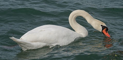 Cigno Reale (G.Sartori.510) Tags: pentaxk1 hdpentaxdfa450mmf56eddcaw cignoreale cignusolor swan anatidae gardalake