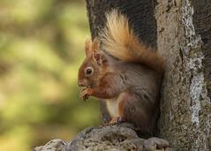 red squirrel (roly2008.) Tags: redsquirrel squirrel mammal wildlife dorset brownseaisland nationaltrust dwt canon 1dmkiv 100400mmmkii