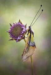 Libeloides (Chusmaki) Tags: ngc macro libeloides bo bokeeh olympus omd1 zuiko60mm