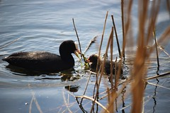 Coot (eve.jones39) Tags: nature outdoor outside warwick birds water lakes