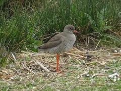 Redshank - Old Moor (Katherine Hainsworth) Tags: rspb oldmoor redshank