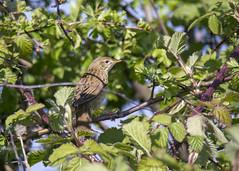 Grasshopper warbler (Yvonne Alderson) Tags: warbler grasshopper spring yvonnealderson yvonne