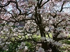 Solothurn Soleure 20. April 2019: Magnolien im Garten des Kunsthauses (Martinus VI) Tags: solothurn solothurner kanton de canton ville stadt y190420 martinus6 martinus6xy martinus vi aare ambassadorenstadt schweiz suisse switzerland svizzera suiza