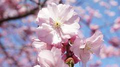 Fotosöndag - Macro (annesjoberg) Tags: fotosöndag fotosondag photosunday macro fs190421 cherryblossom körsbärsblom körsbärsblommor spring pink