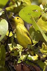 Yellow Warbler (dbadair) Tags: outdoor drop ft oats desoto nature wildlife 7dm2 ef100400mm canon florida bird