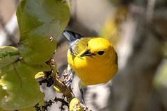 Prothonotary Warbler Having a Worm Lunch (dbadair) Tags: outdoor drop ft oats desoto nature wildlife 7dm2 ef100400mm canon florida bird