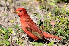 Summer Tanager (dbadair) Tags: outdoor drop ft oats desoto nature wildlife 7dm2 ef100400mm canon florida bird