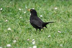 Merle noir Turdus merula (Ezzo33) Tags: france gironde nouvelleaquitaine bordeaux ezzo33 nammour ezzat sony rx10m3 parc jardin oiseau oiseaux bird birds merlenoir turdusmerula