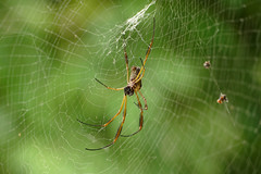 Fauna: Golden Silk Orb-weavers spider (Nephila), PermaTree, Ecuador (yago1.com) Tags: fauna conservation ecuador goldensilkorbweaversspider nephila spider permatree
