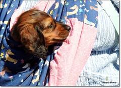 """Maya"" Dachshound pup. (pete Thanks for 5 Million Views) Tags: hwcp nikon p900 wicked weasel spring maya dachshound pup"