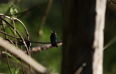 besourinho-de-bico-vermelho  (Chlorostilbon lucidus) (6840) (Jorge Belim) Tags: canoneos7d 70200 fauna bípede pássaro ave