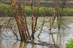 Riverine Forest (3) (Nicholas_T) Tags: pennsylvania columbiacounty southcentretownship columbiapark susquehannariver riverbirch betulanigra forest trees deciduous temperatedeciduousforest riparian palustrine palustrineforest spring nature creativecommons