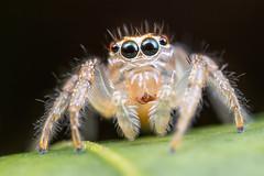 Jumping Spider (Salticidae) (gatorlink) Tags: canon6dmarkii nature mt26exrtmacrotwinlite gainesville florida alachua forest swamp flash
