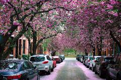 City in Bloom II (Dalliance with Light (Andy Farmer)) Tags: spring flowers cherryblossoms street 21stst city fairmount philadelphia philly pennsylvania unitedstatesofamerica