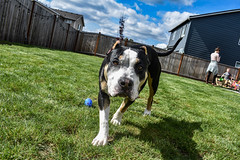 American Bully playing with kids on Easter (trident2963) Tags: easter 2019 dog tongue egg hunt kids backyard sunshine sunny close up portrait canine fun doggy pup puppy happy american bully bulldog staffordshire terriers pit bull breed