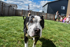 Dog playing with kids on Easter (trident2963) Tags: bully american lookingatcamera easter 2019 dog tongue egg hunt kids backyard sunshine sunny close up portrait canine fun doggy pup puppy happy