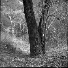 DOF (ADMurr) Tags: rolleiflex zeiss planar dad970 28f ilford 125 tree focus soft background 80mm