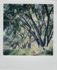 Riparian springtime (EllenJo) Tags: polaroid instantfilm 2019 ellenjo sx70 april2019 tuzirap tuzigootriveraccesspoint clarkdalearizona clarkdaleaz verdevalley riparian trees forest cottonwoods