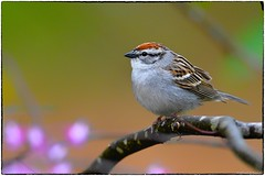 Chipping sparrow. View Large (RKop) Tags: ohio d500 shawneestatepark 14xtciii raphaelkopanphotography 600mmf4evr nikon
