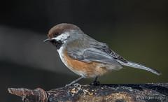 Boreal Chickadee (bbatley) Tags: bird wildlife chickadee borealchickadee