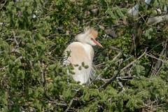 (Pierre-Jacques Magne) Tags: aigrette egretta héron gardeboeufs bubulcus ibis western cattle egret