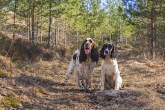 Muikku & Jiippi (Veden valamia 2.0) Tags: english springer spaniel puppy pup
