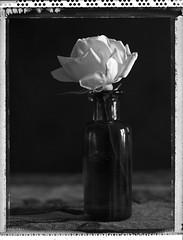 petite rose blanche - offrande de printemps (JJ_REY) Tags: rose blanche white instantfilm bw polaroid pn55 expired largeformat 4x5 negative offrande offering toyofield 45a rodenstock sironarn150mmf56 colmar alsace france