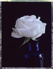petite rose blanche - offrande de printemps (JJ_REY) Tags: rose blanche white petite small vase bleu blue instantfilm peelapart fuji pack100 fp100c toyofield 45a rodenstock aposironarn 150mmf56 colmar alsace france