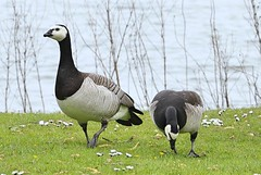 Barnacle Geese (Bogger3.) Tags: barnaclegeese jcblakes rocester uttoxeter canon7dmk2 tamron150x600lens coth5 ngc