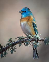 Lazuli Bunting (Eric Gofreed) Tags: arizona lazulibunting mybackyard passerinaamoena sedona villageofoakcreek yavapaicounty