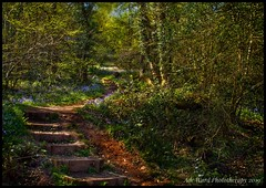 Path of nature (Ade Ward Phototherapy.) Tags: flowers phototherapy sigma nikon cefnonnpark cardiff colours bluebells woodland forest woods wildlife path nature