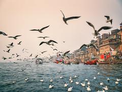 K. (Prabhu B Doss) Tags: india fujifilm gfx gfx50s gf3264mm fujilove fujifeed kashi benares ghats ganga ganges prabhubdoss travelphotography migratory birds river