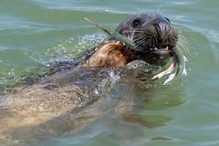 Visitor at Yarmouth Pier (Speedy349) Tags: isleofwight yarmouth pier seal garfish