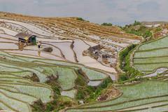 _Y2U2008.0514.Y Tí.Bát Xát.Lào Cai (hoanglongphoto) Tags: asia asian vietnam northvietnam northeastvietnam northernvietnam landscape scenery vietnamlandscape vietnamscenery ytilandscape terraces terracedfields terracedfieldsinvietnam transplantingseason sowingseeds people landscapeandpeople abstract curve canon canoneos1dx canonef100400mmf4556lisusm đôngbắc làocai bátxát ytí ruộngbậcthang ruộngbậcthangytí ytímùacấy ytímùađổnước phongcảnhcóngười elitegalleryaoi bestcapturesaoi