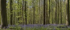 Hallerbos (m.ritmeester) Tags: ngc naturelovers natuur bruin bomen blauw bos belgie hallerbos groen paars