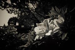 Aprilis (Sign-Z) Tags: nikon d5 2470mmf28g monochrome flower peacememorialpark hiroshima azalea ツツジ 花 モノクローム 平和記念公園