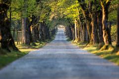 fresh green (Fotos aus OWL) Tags: senne natur landschaft landscape allee avenue kopfsteinpflaster strase