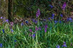 Early Purple Orchid (Orchis mascula) (BiteYourBum.Com Photography) Tags: dawnandjim dawnjim biteyourbum biteyourbumcom copyright©2019biteyourbumcom copyright©biteyourbumcom allrightsreserved uk unitedkingdom gb greatbritain england canoneos7d canonefs60mmf28macrousm canonef1740mmf4lusm canonmacrotwinlitemt26exrt apple imac5k lightroom6 ipadair appleipadair camranger lrenfuse focusstacking manfrotto055cxpro3tripod manfrotto804rc2pantilthead loweproprorunner350aw sussex westsussex southdowns southdownsnationalpark wassellmillhanger ebernoe earlypurple orchid orchis mascula earlypurpleorchid orchismascula bluebell hyacinthoides nonscripta bluebells hyacinthoidesnonscripta