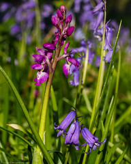 Early Purple Orchid (Orchis mascula) (BiteYourBum.Com Photography) Tags: dawnandjim dawnjim biteyourbum biteyourbumcom copyright©2019biteyourbumcom copyright©biteyourbumcom allrightsreserved uk unitedkingdom gb greatbritain england canoneos7d canonefs60mmf28macrousm canonmacrotwinlitemt26exrt apple imac5k lightroom6 ipadair appleipadair camranger lrenfuse focusstacking manfrotto055cxpro3tripod manfrotto804rc2pantilthead loweproprorunner350aw sussex westsussex southdowns southdownsnationalpark ebernoecommonnationalnaturereserve ebernoecommon ebernoe earlypurple orchid orchis mascula earlypurpleorchid orchismascula
