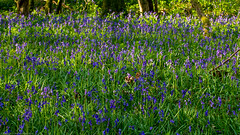 Bluebells (Hyacinthoides non-scripta) (BiteYourBum.Com Photography) Tags: dawnandjim dawnjim biteyourbum biteyourbumcom copyright©2019biteyourbumcom copyright©biteyourbumcom allrightsreserved uk unitedkingdom gb greatbritain england canoneos7d canonefs60mmf28macrousm canonmacrotwinlitemt26exrt apple imac5k lightroom6 ipadair appleipadair camranger lrenfuse focusstacking manfrotto055cxpro3tripod manfrotto804rc2pantilthead loweproprorunner350aw sussex westsussex southdowns southdownsnationalpark ebernoecommonnationalnaturereserve ebernoecommon ebernoe bluebells bluebell hyacinthoides nonscripta hyacinthoidesnonscripta