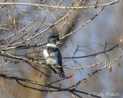 belted kingfisher (Pattys-photos) Tags: belted kingfisher idaho pattypickett4748gmailcom pattypickett
