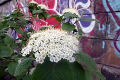 FLOWER AND GRAFFITI (artofthemystic) Tags: vienna danubecanal austria bars restaurants graffiti urbanart flower