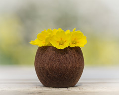 I knew that would come in handy! (Emma Varley) Tags: macromondays bottlecap cowslips flowers wild posy arrangement vase wood stilllife outdoor garden bokeh spring cheerful pretty yellow