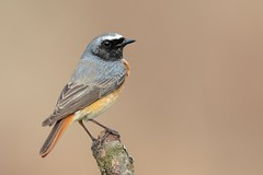 Common Redstart (Phil Gower Bird Photography) Tags: common redstart bird perch wildlife nature ornithology