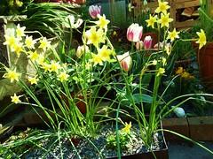 Miniature Narcissi (vw4y) Tags: narcissi tulips planter littlefairyflowers golden springtime garden