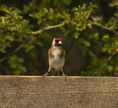 You're not getting past me! (LindaShaws Images) Tags: goldfinch bird britishbird fence countryside hedgerow staffordshire wildlife cardueliscarduelis standing stance red beak nature