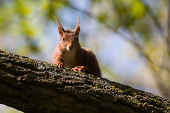 Sunny-side up (Joachim Dobler) Tags: eichhörnchen eichhoernchen squirrel écureuil ardilla scoiattolo equito nature natur nagetier wildlife animal cute naturephotography squirrellove wildlifephotography bestsquirrel nutsaboutsquirrels cuteanimals