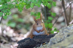 A steady stance is important! ;) (Joachim Dobler) Tags: eichhörnchen eichhoernchen squirrel écureuil ardilla scoiattolo equito nature natur nagetier wildlife animal cute naturephotography squirrellove wildlifephotography bestsquirrel nutsaboutsquirrels cuteanimals