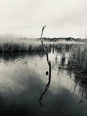 IMG_6751 (gzammarchi) Tags: italia paesaggio natura ravenna marinaromea piallassabaiona lago canneto palo riflesso bn